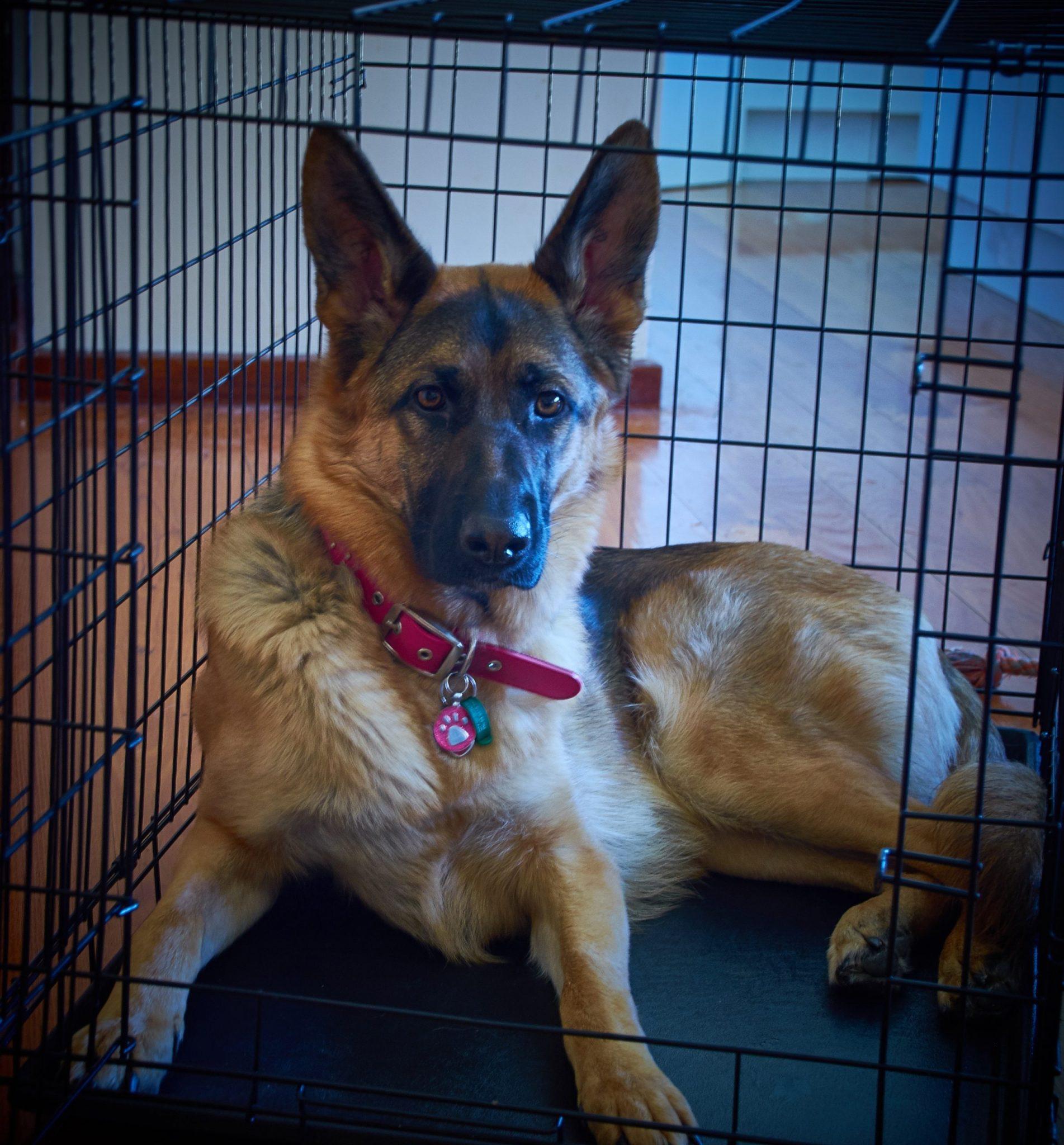 dog crate training dog